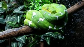 Emerald Green Tree Boa Stock Photography