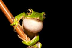 Emerald Green Tree Frog Stock Photos