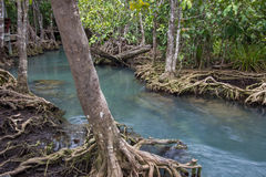 Emerald-green water and tree roots of peat swamp, Tha Pom canal, Krabi, Thailand Stock Photo