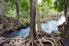 Emerald-green water and tree roots of peat swamp, Tha Pom canal, Krabi, Thailand Royalty Free Stock Photo
