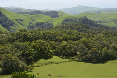 Emerald Hills with cattle Stock Image