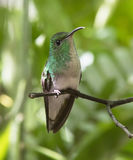 Emerald Hummingbird Cobrizo-dirigido Imagenes de archivo