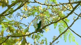 Emerald Hummingbird flyger i träden, nära blommor stock video