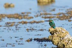 Emerald Kingfisher auf Korallenriff von Rotem Meer Stockfotos