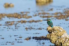 Emerald Kingfisher on coral reef of Red Sea Stock Photos