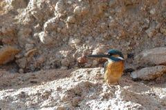Emerald Kingfisher on Red Sea beach. Sinai, Egypt. Royalty Free Stock Photography