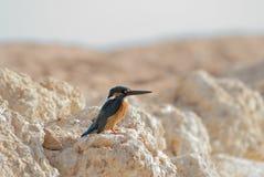 Emerald Kingfisher on Red Sea coast stone. Sinai, Egypt. Stock Photos
