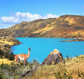 Emerald Lake Pehoe. Neverland Patagonia. Emerald Lake Pehoe water on the hill stands a graceful guanaco Royalty Free Stock Image