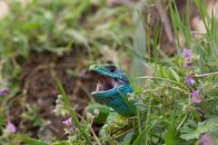Emerald lizard in the bushes with wide open beak Royalty Free Stock Photography