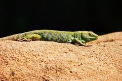 Emerald Lizard, Lizard, Animals Stock Image