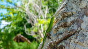 Emerald Lizard on Palm near Yenanas Homestay, Gam Island, West Papuan, Raja Ampat, Indonesia.  Royalty Free Stock Photo