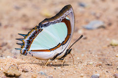 Emerald Nawab or Indian Yellow Nawab butterfly Stock Images