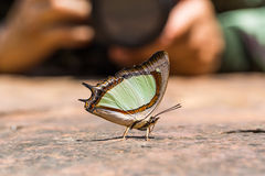 Emerald Nawab or Indian Yellow Nawab butterfly Royalty Free Stock Photography