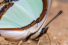 Emerald Nawab of Indische Gele Nawab-vlinder Royalty-vrije Stock Foto