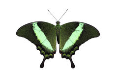 emerald pawi swallowtail Obraz Stock