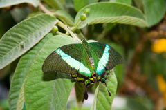 Emerald peacock (Papilio palinurus). An Emerald peacock butterfly (Papilio palinurus) resting on a leaf royalty free stock photo