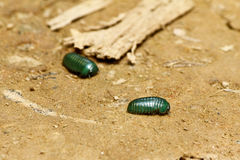 Emerald pill millipede (Sphaerotheriida) Royalty Free Stock Photo