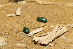 Emerald pill millipede (Sphaerotheriida) Royalty Free Stock Images
