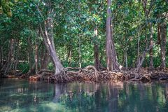 Emerald Pool and Mangrove Forest Pa Phru Tha Pom Khlong Song Nam in Krabi Province, Thailand.  Stock Photography