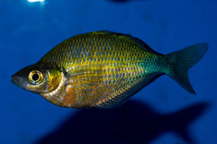 Emerald Rainbowfish Male Royalty Free Stock Photos