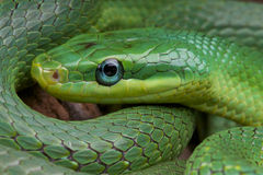 Emerald rat snake / Rhadinophis prasinum Royalty Free Stock Images
