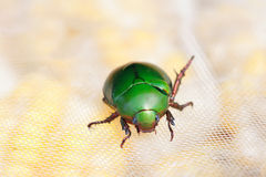 Emerald scarab Royalty Free Stock Photo
