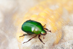 Emerald scarab Royalty Free Stock Image