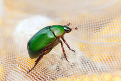 Emerald scarab Stock Photography
