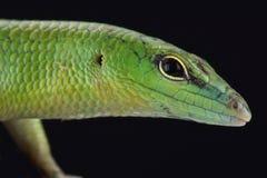 Emerald skink (Lamprophis smaragdina) Stock Photography