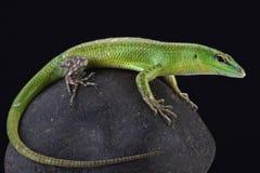 Emerald skink (Lamprophis smaragdina) Royalty Free Stock Photos
