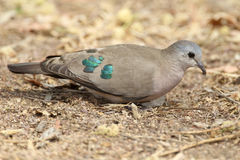 Emerald Spoted Dove Royalty Free Stock Images