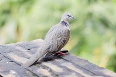 Emerald Spotted Dove Royalty Free Stock Photo