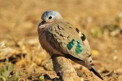 Emerald Spotted Dove - Colorful Bird Background - Exotic Greens in Nature Royalty Free Stock Photography