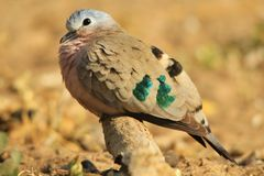 Emerald Spotted Dove - Colorful Bird Background - Peace to the World Royalty Free Stock Photo