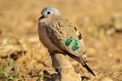 Emerald Spotted Dove - fond coloré d'oiseau - belle irisation de vert Photographie stock