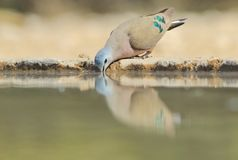 Emerald Spotted Dove - fondo colorido del pájaro - reflexión de la belleza Imagen de archivo libre de regalías