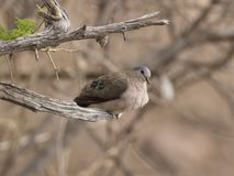 Emerald spotted Dove, Turtur chalcospilos, sitting on branch royalty free stock photos