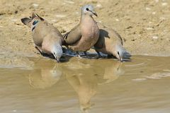 Emerald Spotted Dove - Wild Bird Background from Africa - The odd one out Stock Photography