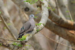 Emerald Spotted Wood-Dove immagine stock