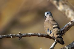 Emerald Spotted Wood-Dove (Turtur chalcospilos) Royalty Free Stock Photo