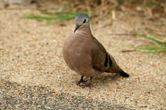 Emerald Spotted Wood-Dove (Turtur chalcospilos). In Kruger National Park, South Africa Royalty Free Stock Photo