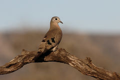 Emerald-spotted wood dove, Turtur chalcospilos Royalty Free Stock Photos