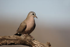Emerald-spotted wood dove, Turtur chalcospilos. Single bird on branch, South Africa, August 2016 Stock Images