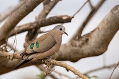 Emerald-Spotted Wood Dove Turtur chalcospilos Sitting on a Branch, South Africa. Kruger Park Stock Image