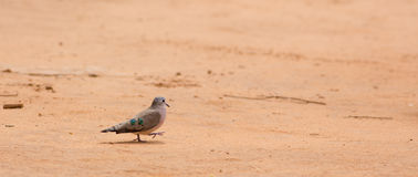 Emerald Spotted Wood-dove. An Emerald spotted Wood-dove Turtur chalcospilos walking on hot red african sand Stock Photography