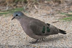 Emerald-spotted Wood Doves (Turtur chalcospilos). In Kruger National Park, South Africa Stock Image