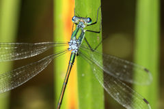 Emerald Spreadwing Damselfly Royalty Free Stock Images