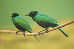 Emerald starling Stock Image
