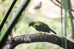 Emerald Starling (Coccycolius iris) Royalty Free Stock Photos