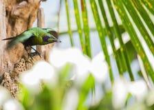 Emerald Starling (Coccycolius iris) Stock Image